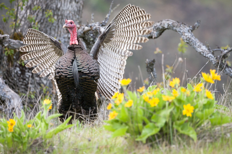 Wild Turkey (Meleagris gallopavo).