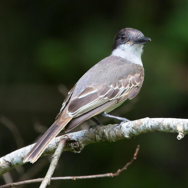 Loggerhead Kingbird (Tyrannus caudifasciatus).