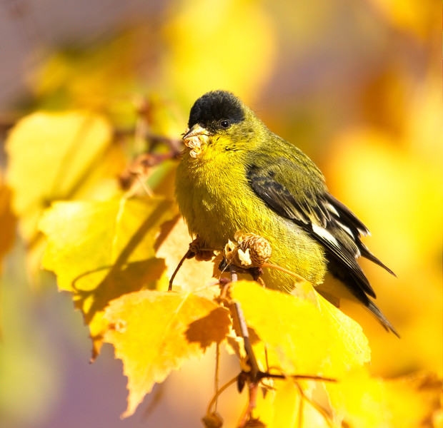Green-backed Lesser Goldfinch (Spinus psaltria hesperophilus).