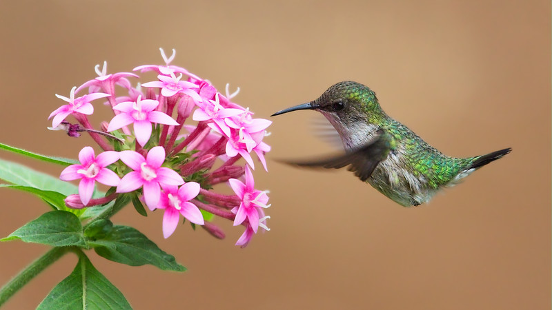 Vervain Hummingbird (Mellisuga minima).