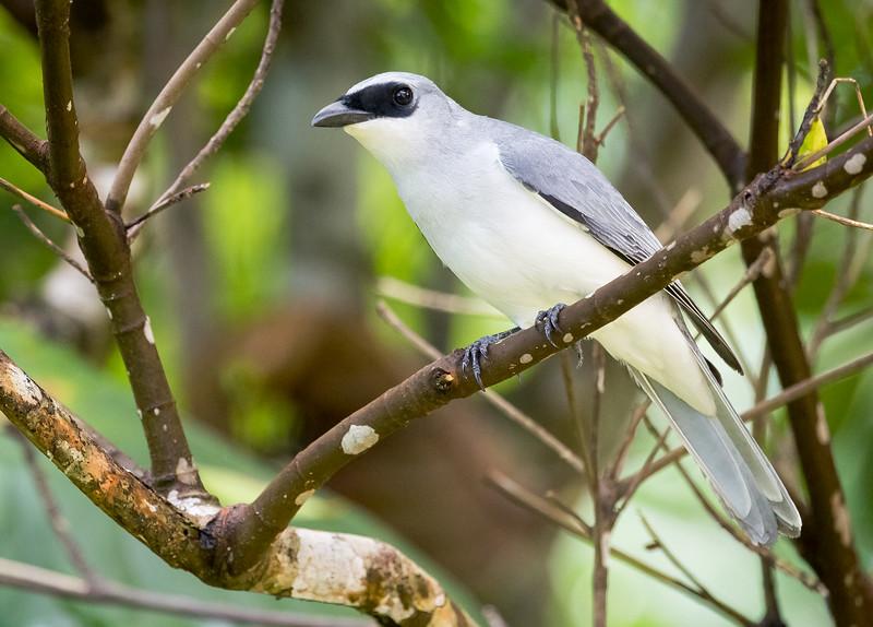 White-bellied Cuckoo-shrike (Coracina papuensis).