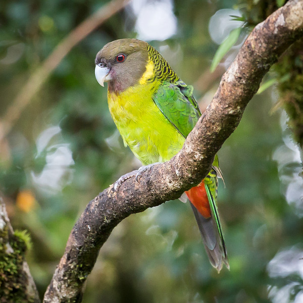 Brehm's Tiger-parrot, male (Psittacella brehmii intermedia).