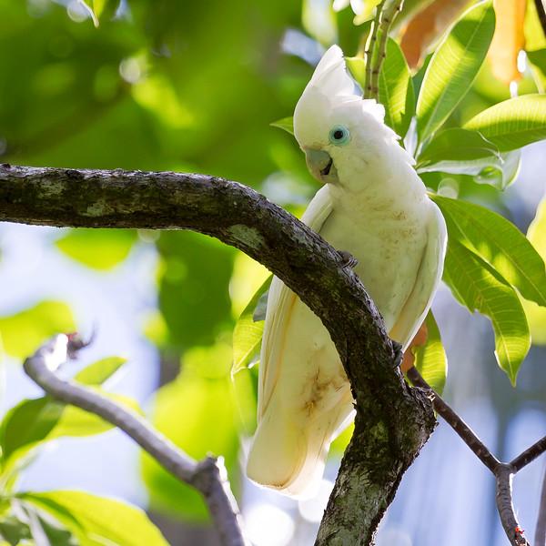 Solomons Cockatoo (Cacatua ducorpsii).