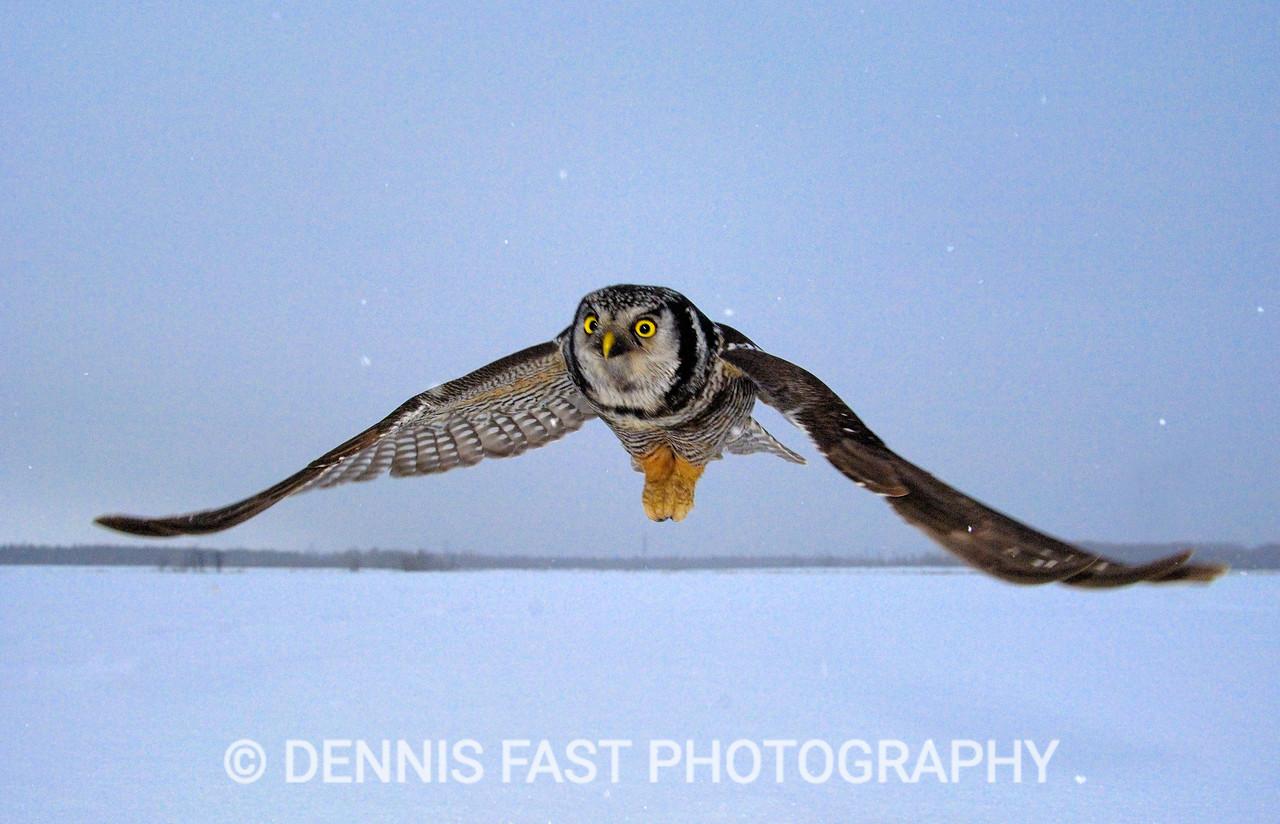 NORTHERN HAWK-OWL.
