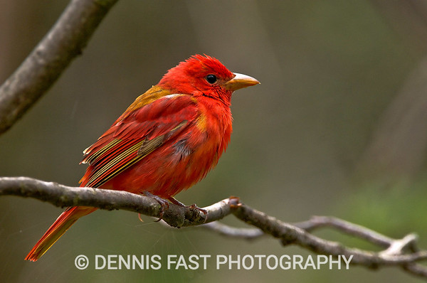 YOUNG MALE SUMMER TANAGER  Summer Tanagers are not common in Canada, but they regularly appear at Point Pelee National Park in Southern Ontario. Slow, and deliberate, they are a delight to photograph as they flycatch from a favourite perch and frequently return to the same spot.