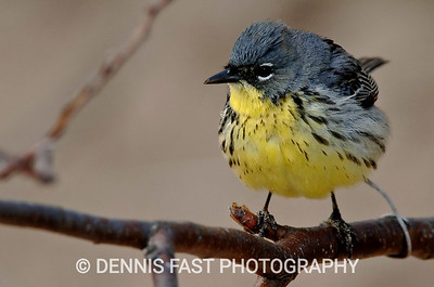 KIRTLAND'S WARBLER  The Kirtland's Warbler is one of the rarest birds in North America. Most of the 400-500 pairs nest in Michigan, but a few have been found nesting in Canada. This bird  appeared at Point Pelee National Park in Ontario for a few days several years ago and put on a great show for birders and photographers alike.