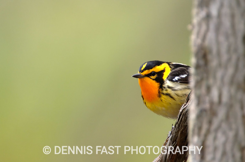 MALE BLACKBURNIAN WARBLER  If there is a more flaming orange bird than the Blackburnian Warbler, I have yet to find it. Feeding and nesting high in the trees of the boreal forest it is amazingly difficult to see, but it's secretive nature simply makes its occasional revelations all the more spectacular.