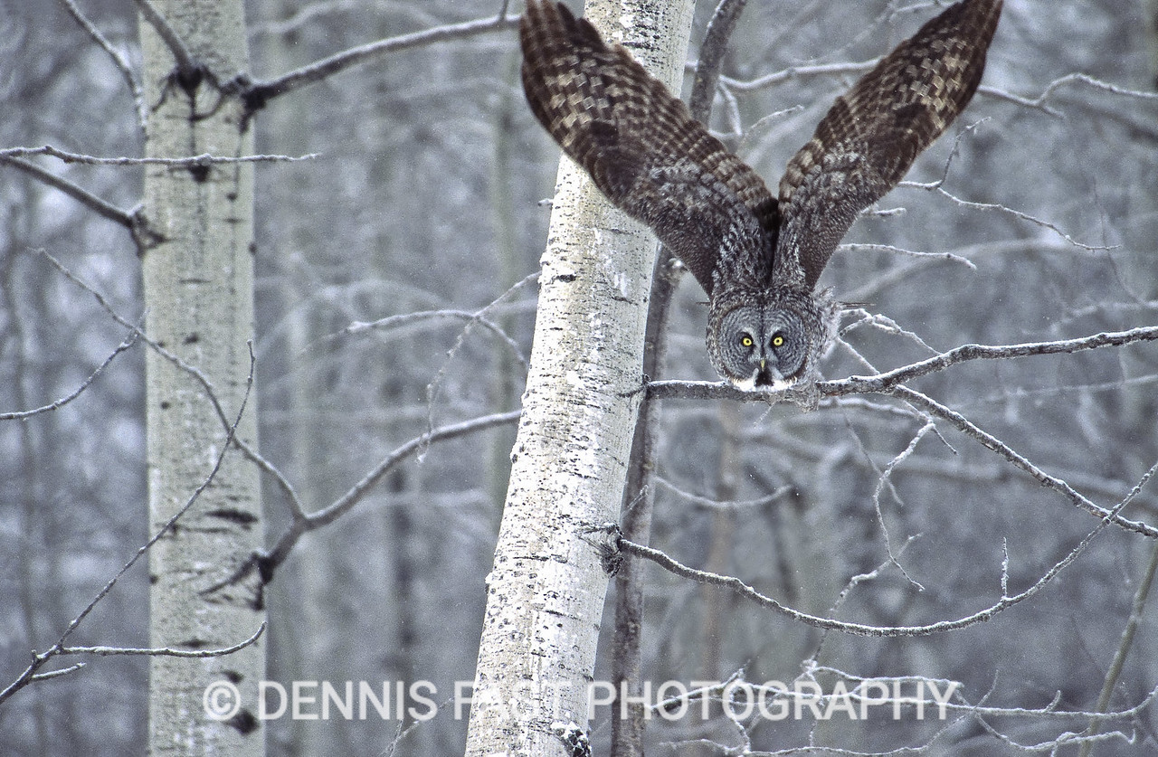 GREAT GRAY OWL LAUNCH  When a Great Gray Owl hears the sound of a mouse or vole under the snow it launches into action. Its swift dive will plunge it several feet into the snow, if necessary, to catch its prey in its talons.