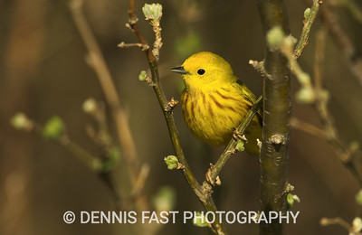 YELLOW WARBLER.  The Yellow Warbler may be one of the most widespread warblers in North America, but that certainly doesn't detract from its beauty.