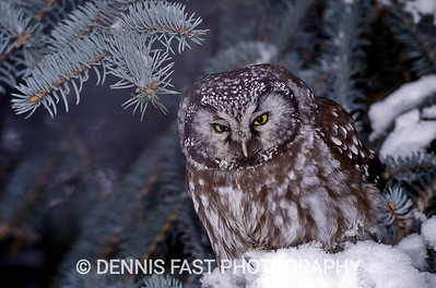 BOREAL OWL IN SPRUCE TREE  The Boreal Owl is one of Canada's most elusive and sought after owls. Birders and photographers sometimes travel great distances for an opportunity to see and to photograph these tiny raptors. As a result, I consider myself most fortunate in having had the occasion to photograph this bird three times in my own back yard! This bird was revealed to me by screaming Blue Jays. After walking around the tree three times staring carefully into the higher branches near the trunk of the tree where they prefer to hide, I suddenly realized it was right in front of me at eye level!
