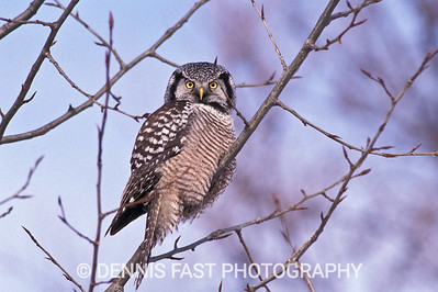 NORTHERN HAWK-OWL.  The Northern Hawk-Owl is one of the most fearless and aggressive raptors we have. I once had one take a mouse off my head! When they are hungry, every vole in its territory should be on the look-out.