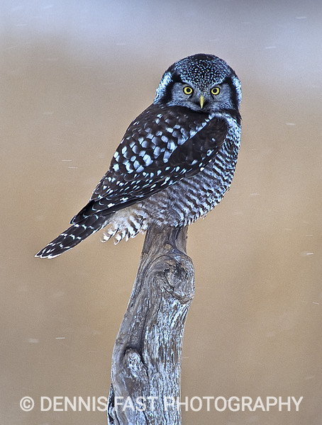 NORTHERN HAWK-OWL.