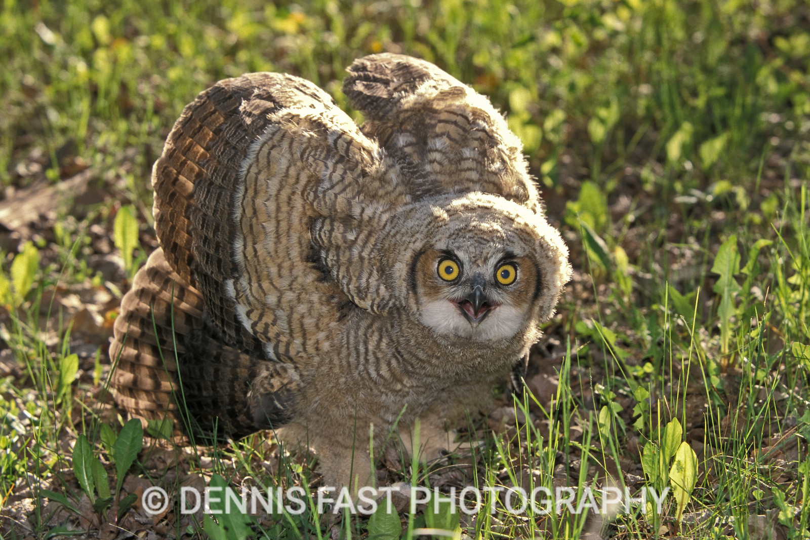 YOUNG GREAT HORNED OWL  Young owls out of the nest are able to fly short distances, but they will frequently stand and puff themselves up to make themselves appear larger. All the hissing and bill clacking can be intimidating, but the real weapons to look out for are their talons.