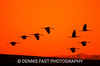 SANDHILL CRANES AT SUNSET.<br /> <br /> The cry of the Sandhill Crane is one of the wildest calls in nature. When a group comes in to roost near a swamp for the night, their trumpet calls are spine-tingling.