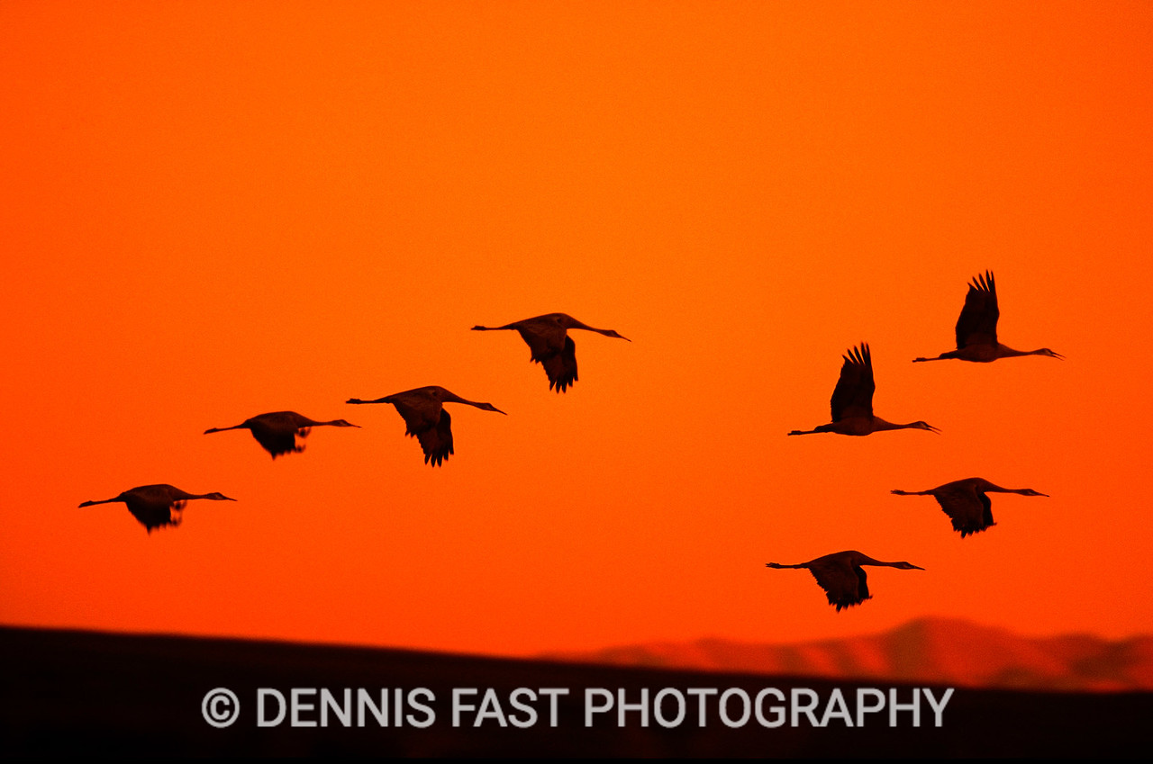SANDHILL CRANES AT SUNSET.  The cry of the Sandhill Crane is one of the wildest calls in nature. When a group comes in to roost near a swamp for the night, their trumpet calls are spine-tingling.