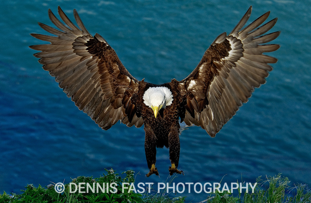 BALD EAGLE NEAR NEST.  It is awe-inspiring to be near an eagle nest when the adults come in to feed their young. It was nearly sunset when this female approached the nest and gave me a fantastic landing shot.