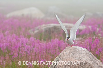 ARCTIC TERN IN FOG.  The Arctic Tern is always striking whether in sunshine or in fog. This bird is about to attack me for straying too close to its nest.