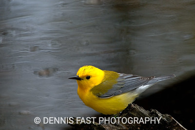 MALE PROTHONOTARY WARBLER  The Prothonotary Warbler barely makes it into Canada, and is considered a declining and threatened species. It prefers the Carolinian woods and swamps of extreme Southern Ontario, and can be found there at Point Pelee National Park and Rondeau Provincial Park.