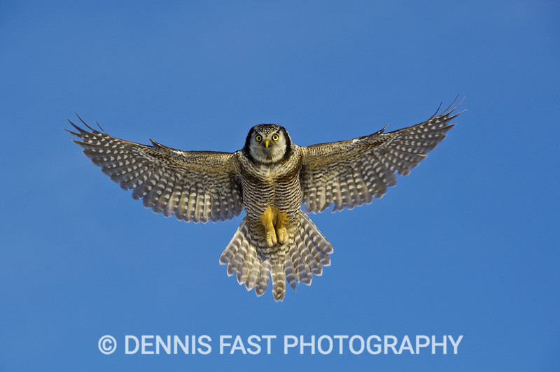 NORTHERN HAWK-OWL HOVER.
