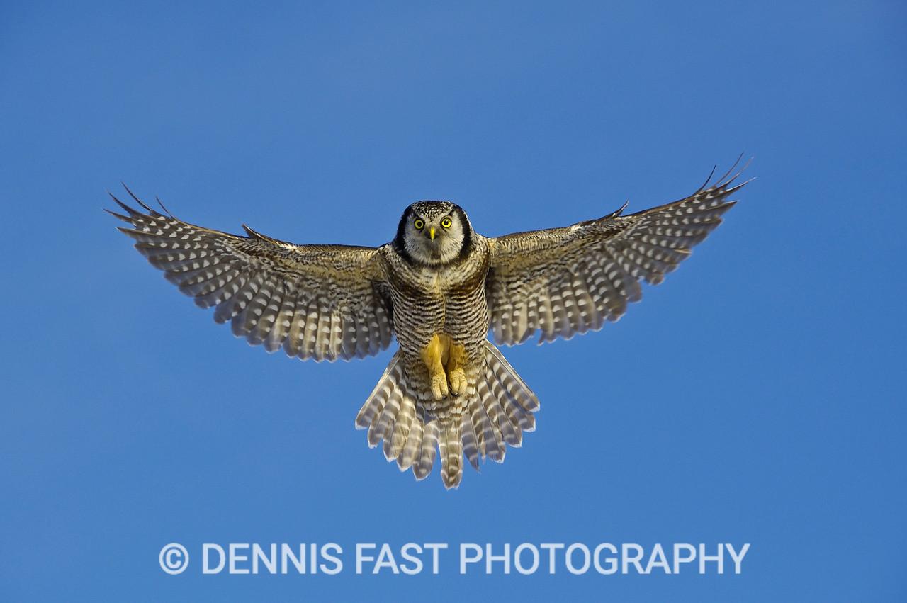 NORTHERN HAWK-OWL HOVER.
