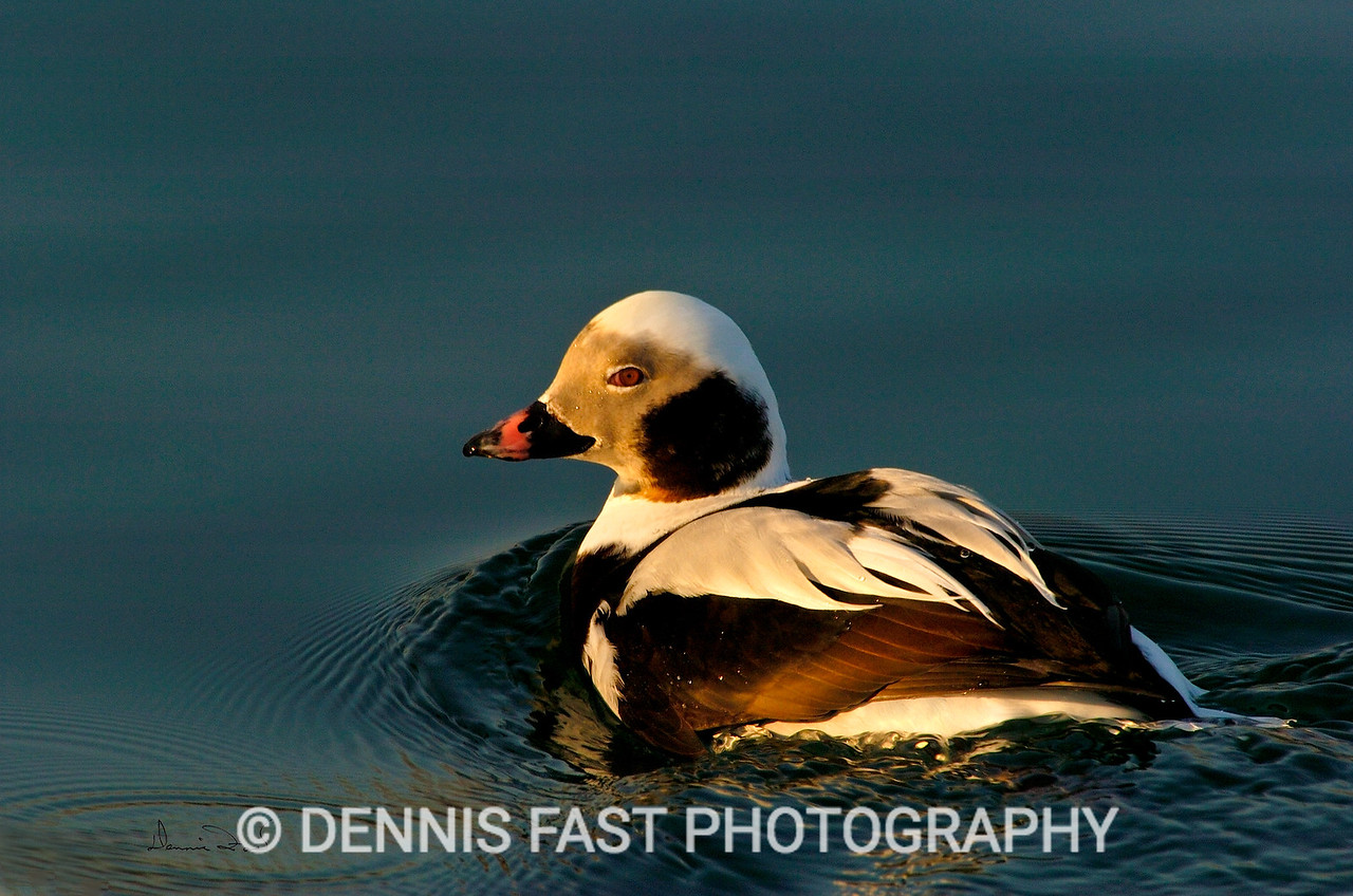 "LONG-TAILED DUCK.  The soft ""yodel"" call of the long-tailed duck is known to anyone living in the far North. Not so well-known is it's striking winter plumage of black and white."