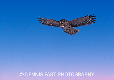GREAT GRAY OWL HOVER.  Watching a Great Gray Owl hunting voles over a field is a lesson in patience and opportunity. Like the owl, the photographer has to know when it's a good time to strike!