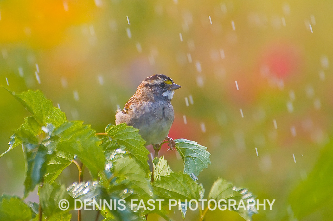 """WHITE-THROATED SPARROW.  In the boreal forest, the plaintive """"Oh Canada, Canada, Canada"""" song of the White-throated Sparrow is a familiar sound. Its natty appearance also endears it to everyone who knows it."""