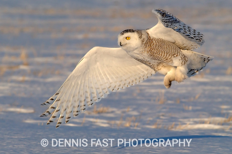 SNOWY OWL FLIGHT.