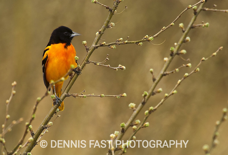 BALTIMORE ORIOLE.  Formerly known as the Northern Oriole (formerly known as the Baltimore Oriole), the Baltimore Oriole may have an identity crisis! By any name, it is one of our more spectacular birds.