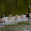 Canada geese with goslings, Phippsburg Maine, June nature, wildlife ,Maine