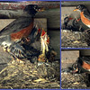 North American robin father feeding chicks in nest, summer, Phippsburg, Maine, a collage showing the technique and feeding behavior nature, wildlife ,Maine