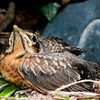 American Robin Chicks nature, wildlife ,Maine