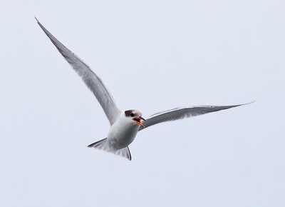 Common tern in flight vocalizing. This is a juvenile bird having just left the nest. The Branch, Small Point Harbor, Phippsburg, Maine in summer nature, wildlife ,Maine