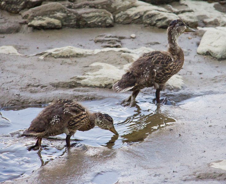 Baby Ducks, Mallards dabbling in mud, intertidal zone, clam flats, nature, wildlife Phippsburg, Maine