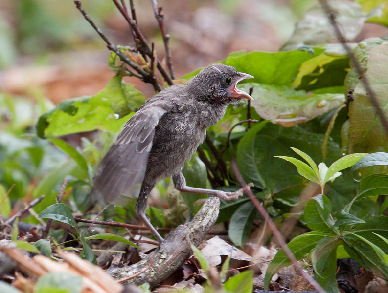 Brown-headed cowbird chick vocalizing in the rain, Phippsburg, Maine, June 2010