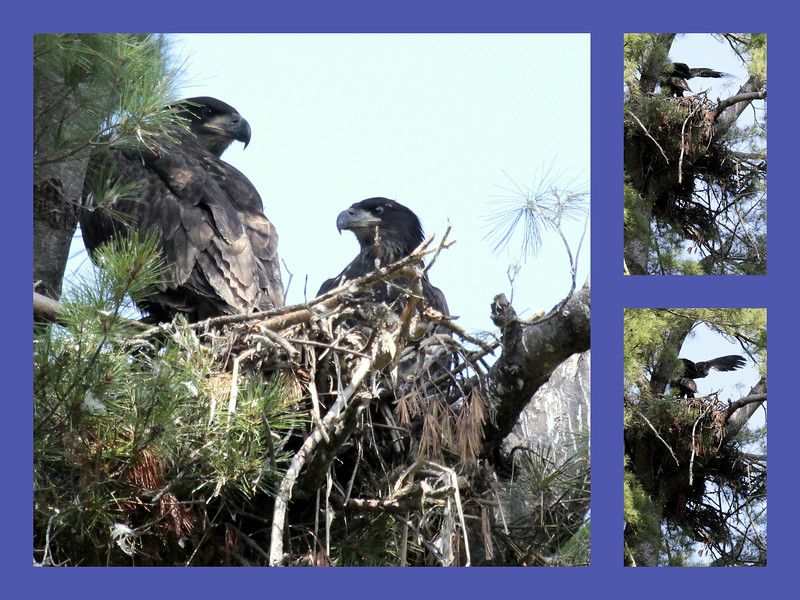 Bald eagle chicks or eaglets in nest, summer, pair, Phippsburg, Maine nature, wildlife ,Maine