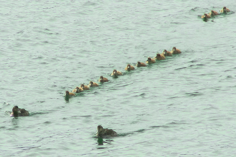 A flock of Common eider chicks, Totman Cove, Phippsburg, Maine April, 2010