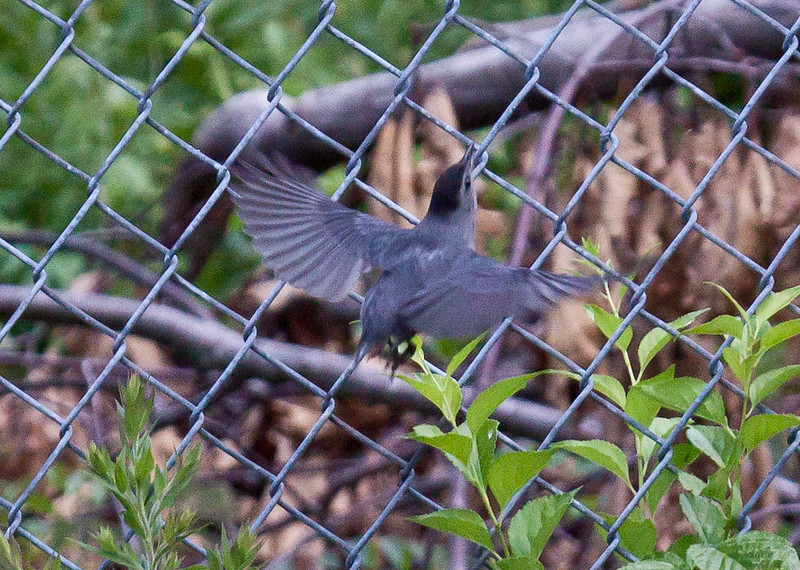"""Gray Catbird fledgling, Bath Maine July. Notice that the bird has not yet developed a full length tail. """"Let me outta here!"""" nature, wildlife ,Maine"""