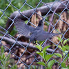 "Gray Catbird fledgling, Bath Maine July. Notice that the bird has not yet developed a full length tail. ""Let me outta here!"" nature, wildlife ,Maine"