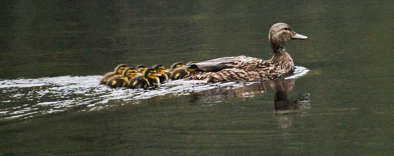 American Black Duck hen with ducklings, 7 chicks, nature, wildlife, Phippsburg , Maine