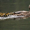 American Black Duck hen with ducklings, 7 chicks, nature, wildlife, Phippsburg , Maine
