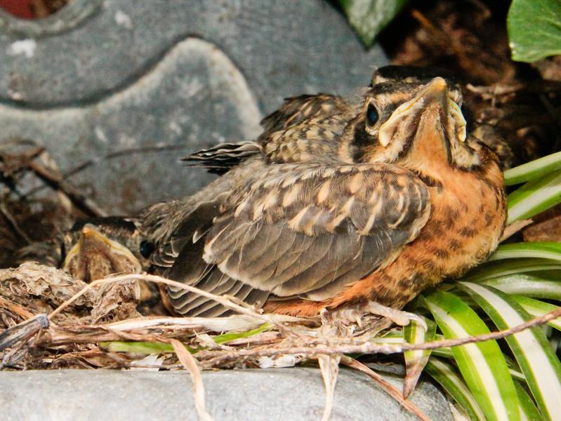 American Robin Chicks nature, wildlife ,Maine