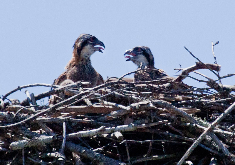pair of Osprey chicks in the nest, panting from heat - Osprey, also called Fish Hawks, Pandion haliaethus is a migratory bird of prey in Maine. This large raptor hunts only live fish. It hovers in the air over water to see fish then plunges feet first to capture fish.