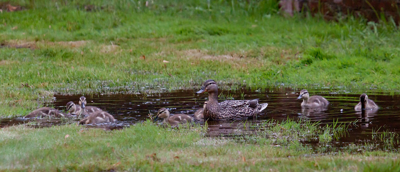 ducklings in puddle with mother, nature, wildlife Phippsburg ,Maine