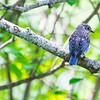 Eastern Bluebird fledgling, Phippsburg Maine July 8