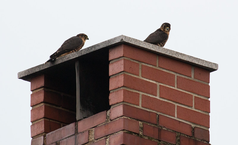 Merlin fledglings atop chimney, Harpswell Maine Long Cove Road, Aug 1