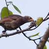 Brown Headed Cowbird chick eating insects, Phippsburg, Maine nature, wildlife ,Maine