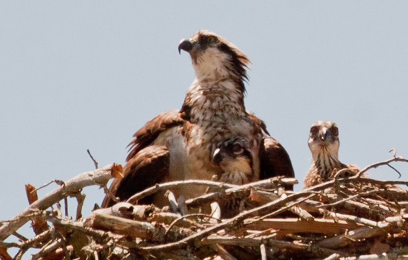 Osprey, also called Fish Hawks, Pandion haliaethus is a migratory bird of prey in Maine. This large raptor hunts only live fish. It hovers in the air over water to see fish then plunges feet first to capture fish.