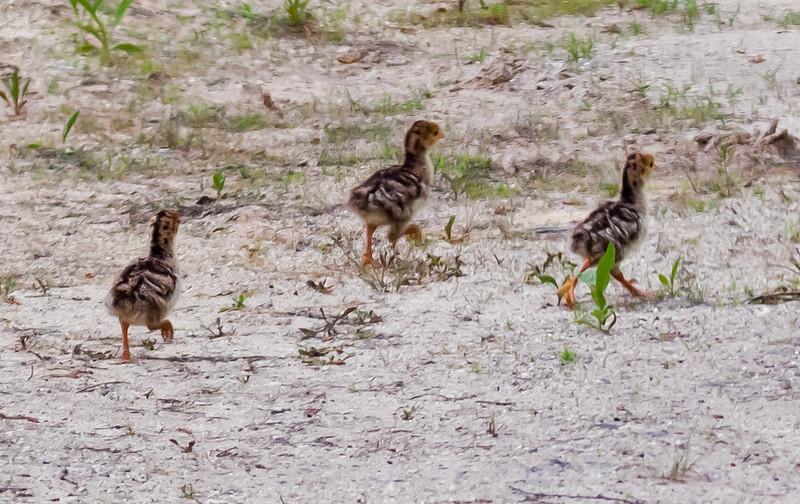 Wild Turkey chicks, pullets in the wild, Phippsburg, nature, wildlife ,Maine