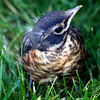 North American robin fledgling that just hopped out of nest seconds before this photograph was taken, Phippsburg, Maine